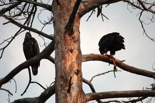 Young Eagles Eating a Fish